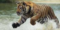 Somatic Experiencing hilft, wieder Vertrauen in die eigene Fähigkeiten und in die eigene Lebensenergie zu gewinnen. Ein Tiger im vollen Lauf, kraftvoll und energiegeladen. Das Wasser spritzt zu allen Seiten. Sehr lebendig.