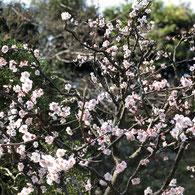 円覚寺、桜の季節がおススメです