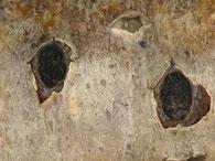 Biscogniauxia marginata zeigt austretende Sporenmasse