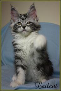 Maine Coon Katze
