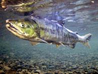 鮭の遡上・産卵スイム(スノーケリング)ツアーイメージ