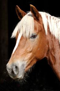 Holsteins Sunny Day - Deutsches Reitpony v. FS Disagio x Horsegate Minstrel/ Nantario