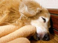 老犬 犬 高齢犬 シニア犬