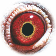 Original Auge von 626