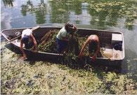 """Arrachage manuel de jussie depuis une barque Copyright IIBSN Photo """"Arrachage manuel"""" prise par N. Pipet."""