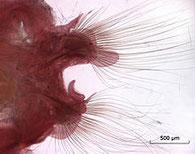 Parapodes de Nephtys longosetosa capturés en Mer du Nord, avec soies et spicules