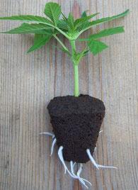 Hanfsteckling, Cannabis Klon mit gewachsenen Wurzel zum einsetzen in hanferde bereit für den Anbau von Cannabis