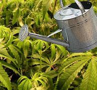 Bewässern & Gießen von Hanf und Hanferde beim Anbau von Cannabis