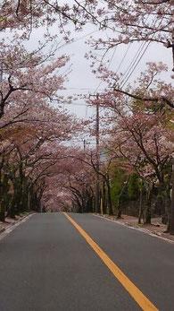 桜のトンネル@伊豆高原