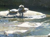 Foto: Heidrun Langer - lebende Schildkröten im Wesrpark
