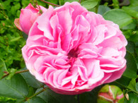 Rosengarten in München - Rose - Foto: Heidrun Langer