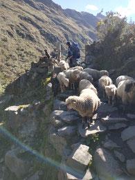 Le gamin a appelé ses moutons exprès pour me gêner. Je suis quand même sur un petit pont en pierre !