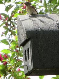 Gartenrotschwanz im Nistkasten der Kolonie füttert den Nachwuchs