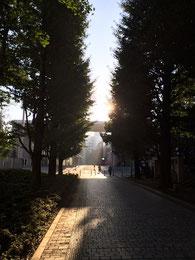 駒場の銀杏並木