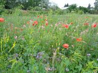 Blütenreiche Wiese in der NABU-Nachtigallenoase (Foto: Gudrun Edner)
