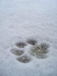 trace d'une patte d'un chien dans la neige par coach canin 16 éducateur canin en charente