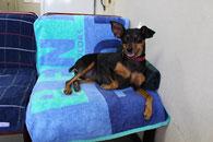 マンスリーマンション「新潟ステーションハイツ」のマスコット犬「ピン子」さん。