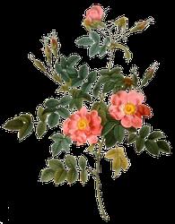 Rosa rubiginosa - Roosier musqué - Pierre Joseph Redouté