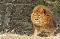 lion afrique fiche animaux felins