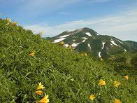 南縦走路のニッコウキスゲと白山本峰