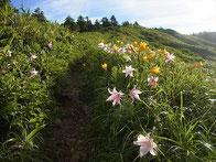 チブリ尾根、ササユリ咲く登山道