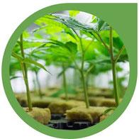 Hanfstecklinge - Cannabis Klone