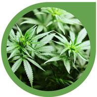 Die vegetative Phase / Wachstumsphase von Hanf - Cannabis
