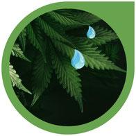 Die Luftfeuchtigkeit bei Cannabis Pflanzen - Messen & regulieren