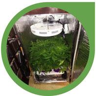 Tipps zum Cannabis Anbau auf engem Raum - mit wenig Platz