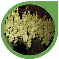 Wie man Cannabis richtig trocknet - Marihuana Blüten trocknen