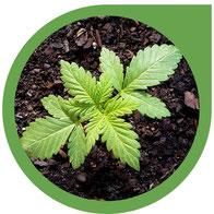 Cannabis Anbau auf Erde & die beste Böden dafür