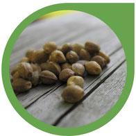 Hanfsamen & Cannabis Samen mit hoher Qualität erkennen