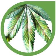 Phosphor (P) Mangel bei Cannabis erkennen und beheben