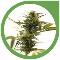 Die besten Outdoor Cannabis Sorten für Ihr heimisches Klima