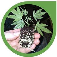 Cannabis Pflanzen umtopfen - Wie und wann umpflanzen?