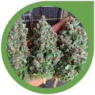 Wieviel Ertrag kann eine Cannabis Pflanze bringen?