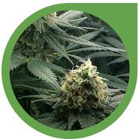 Die produktive Phase / Blütephase von Hanf - Cannabis