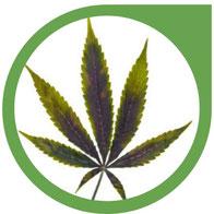 Zink (Zn) Mangel bei Cannabis erkennen & beheben