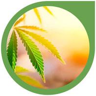Was braucht eine Cannabis Pflanze zum wachsen? Das müssen Sie als Neuling wissen!