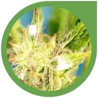 Cannabis Schimmel – Schimmel auf Cannabis erkennen & verhindern