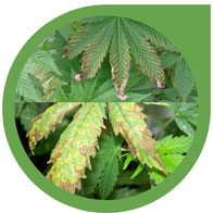 Nährstoffbrand bei Cannabis - Überdüngung erkennen & behandeln