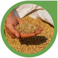 Hanfsamen – Alles über die Samen der Hanfpflanze