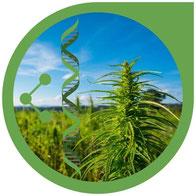 Was sind Naturrassen, Landrassen & Erbgut Cannabis Sorten?