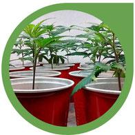 Wie man Cannabis Klone - Hanf Stecklinge herstellt