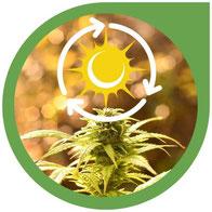 Der Lichtzyklus bei Cannabis Pflanzen - Cannabis Anbau Lichtzyklus