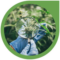 Was ist Cannabis - Alles über die Cannabis-Gattungen Cannabaceae