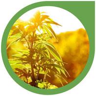 Wie man Cannabis Outdoor (im Freien) anbaut & die Vorteile