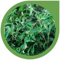cannabis krankheiten häufig