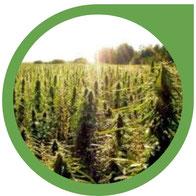 Welche Art von Cannabis Pflanze anbauen?