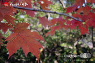 紅葉色付く千葉県野田市「清水公園」